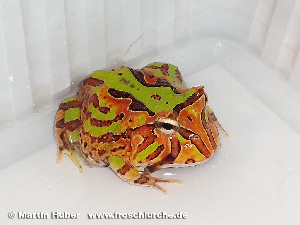 Fantasy pacman frog - photo#2