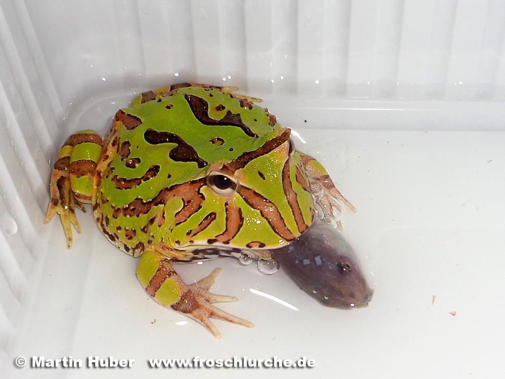 Fantasy pacman frog - photo#13